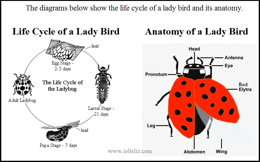 ladybug wing diagram today diagram database Ladybug Diagram Body