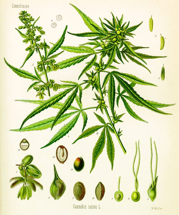 "Illustration of the Cannabis Sativa plant contained in the botanical atlas entitled ""Köhler's medicinal plants"" by the German botanist Hermann Adolph Köhler."