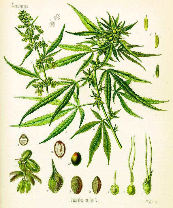 """Hình minh họa cây Cần sa Sativa có trong tập bản đồ thực vật mang tên """"Cây thuốc của Köhler"""" của nhà thực vật học người Đức Hermann Adolph Köhler."""