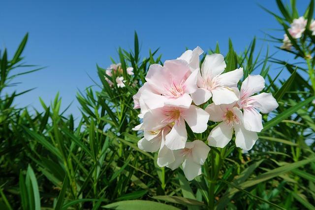 cardiac glycosides Oleander
