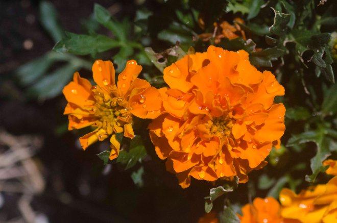 Tagetes er ikke den peneste blomsten i planteriket, men nyttig er den på grunn av sin vonde lukt som jager vekk det meste av fluene man ikke ønsker i grønnsakshagen.