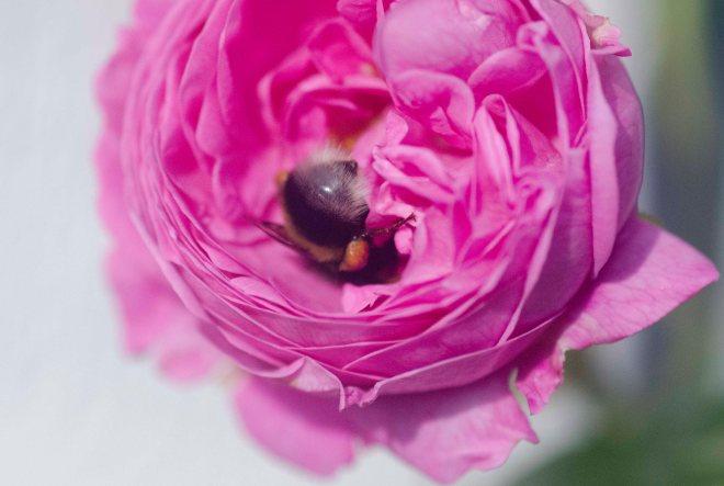 Bare litt lengre inn her så... Humlene tar vi vare på ved å ha et stort mangfold av roser og andre humlevennlige blomster.