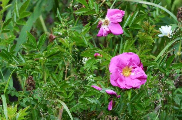 Roser er spiselige og nyperosen også.