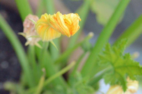 Lærdom til neste år: Det er fint å ha blomster som tiltrekker pollinerende insekter til veksthuset. For å være på den sikre siden, kan du manuelt pollinere dem.