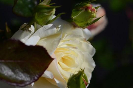 Noen av rosene blomstrer faktisk enda kraftigere og penere enn tidligere i sommer.