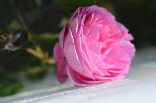 Bladlusene er borte, og rosene har mye kraft til å stråle på nytt.
