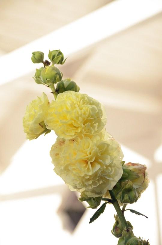 """Stokkrose (her i form av en staude) er en fascinerende blomst. Den blomstrer i etapper, fra nederst til øverst. Det fine er at når den av avblomstret neders, kaster den av seg det visne, og """"lukker"""" seg inne slik at hele stilken fortsatt er pen."""
