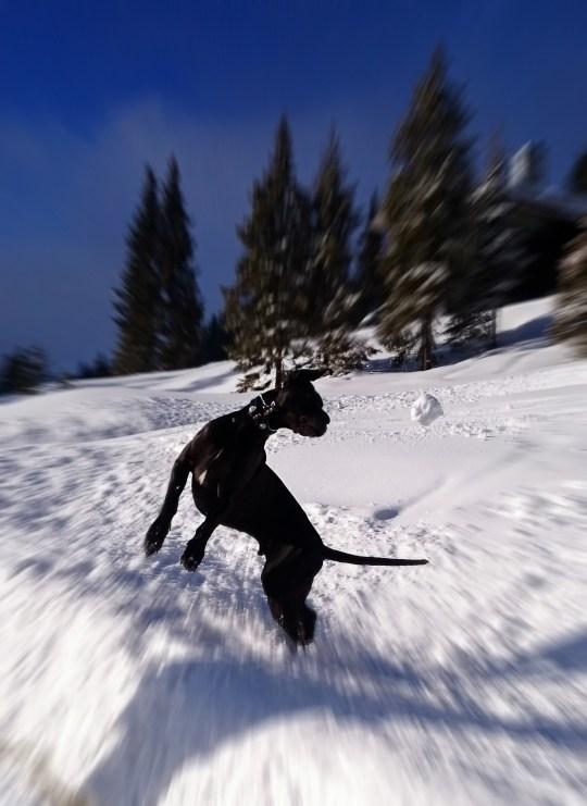 Great dane snow