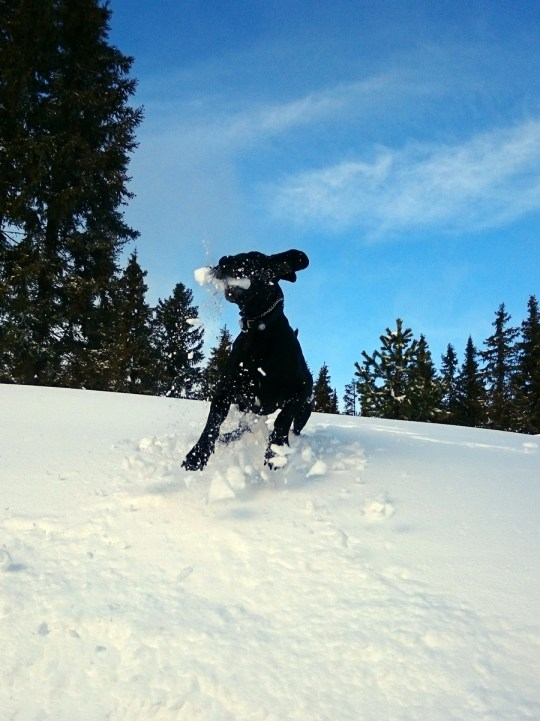 Great dane snow