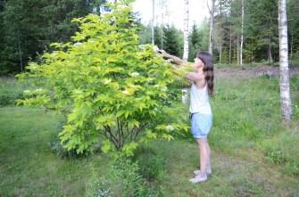 Hyllen er dekorativ som en busk i seg selv og kan bli 3-4 meter.