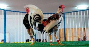 Правительство архипелага запретит петушиные бои и цирки с животными