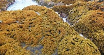 Канарское побережье потеряло более 90% коричневых водорослей в течение 30 лет