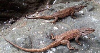 Кабильдо собирает генетические образцы для восстановления популяции гигантской ящерицы Тенерифе