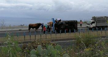 Перевернулся грузовик с двумя быками, которых везли для паломничества в La Orotava