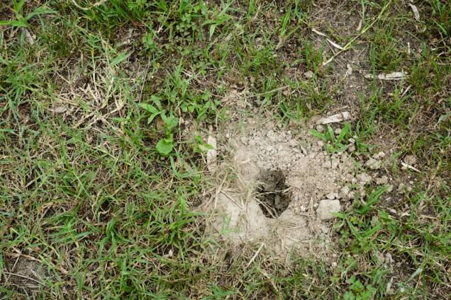 亀の産卵未遂現場です