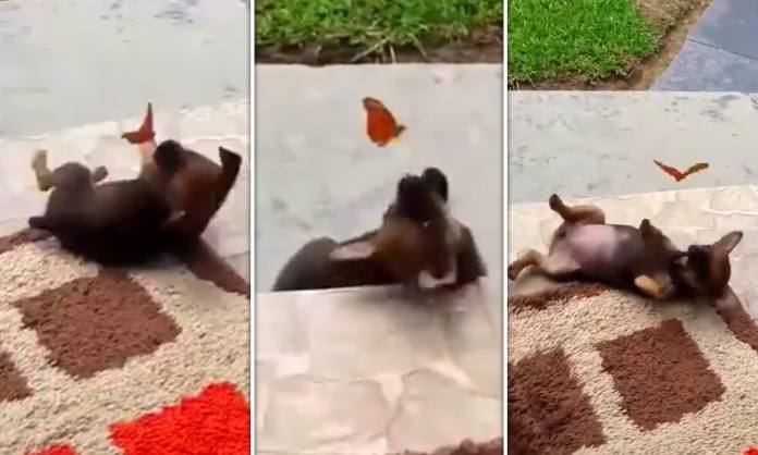 Video Of A Puppy Playing With A Butterfly Goes Viral -Watch