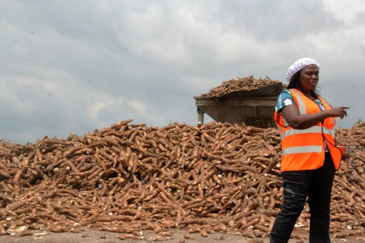 Nigeria cassava Psaltry_82YC2IYD.jpg