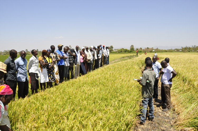 Rice farmers in Kisumu county, Kenya, receive training from 2SCALE-linked organizations.