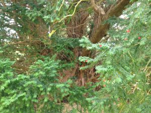 1-the-ancient-yew-tree