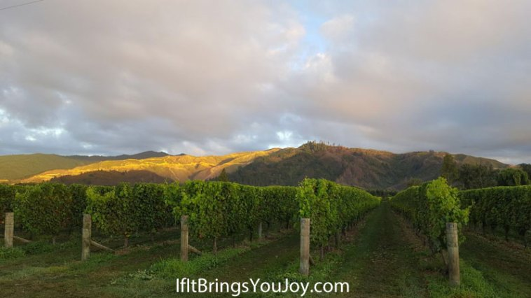 Blenheim, New Zealand vineyard