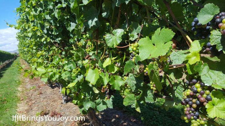 Grape vines at the vineyard in Blenheim, New Zealand