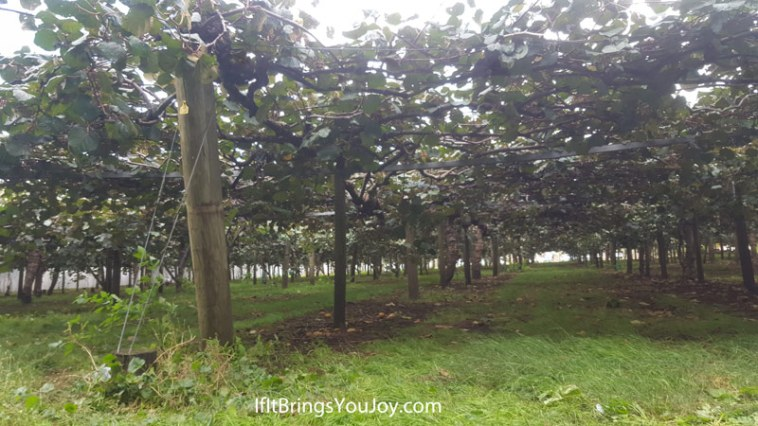 Kiwi orchard in Te Puke, New Zealand