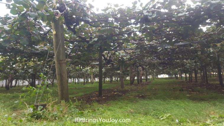 Kiwi orchard in Te Puke, New Zealand