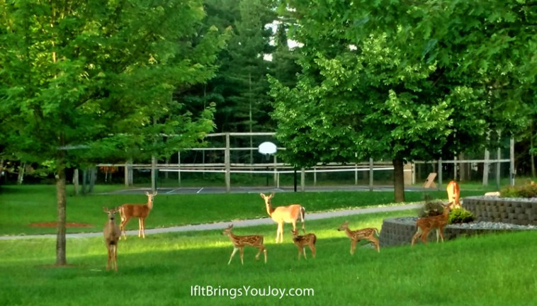 Deer with 4 fawns feasting in the yard