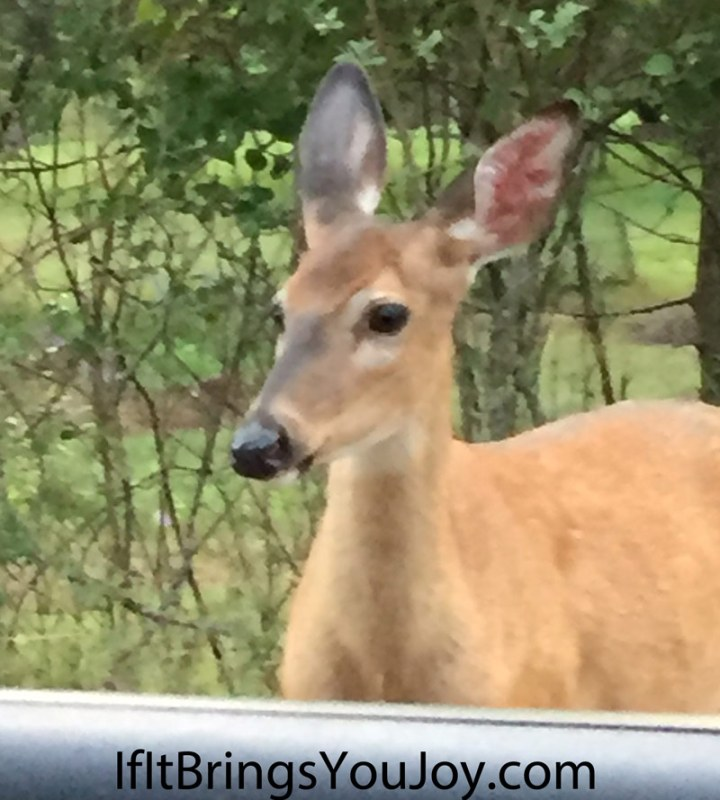 Deer looking at me from a few feet away when I stopped my car next to her. Nature and wildlife are amazing!