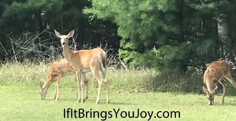Fawns eating dinner - a beautiful sight in nature.