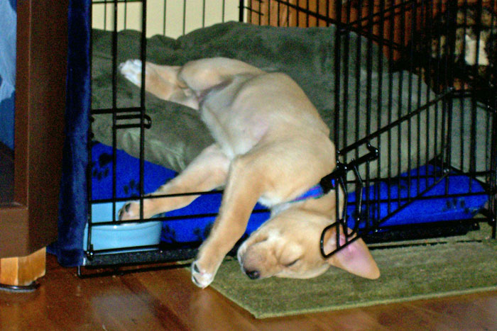 Puppy sleeping half in and half out of crate.