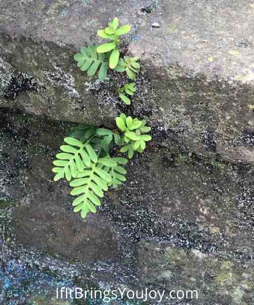 Ferns growing in cracks of a foundation