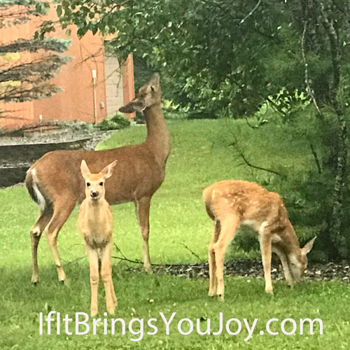 Doe and her twin fawns having a snack