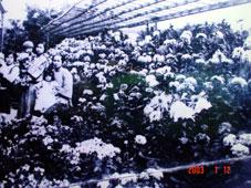 周厝菊花園