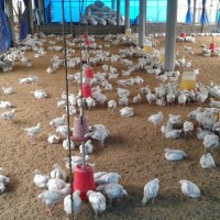 How to Start A Poultry Business in the Philippines