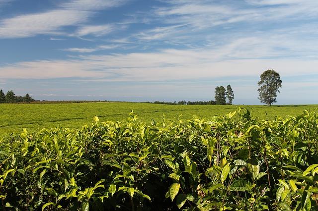 tea tre 茶樹