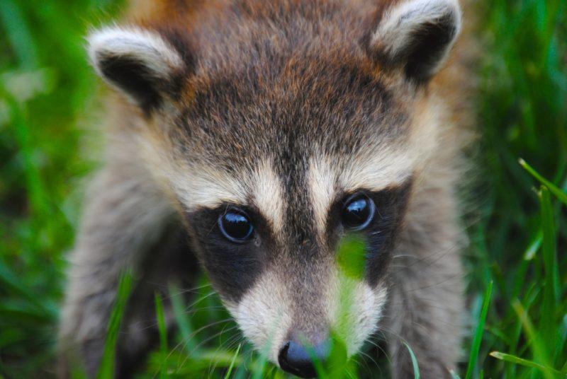 baby-raccoon