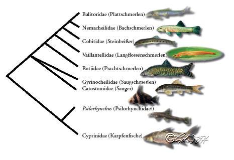 Kladogramm der Cobitoidea
