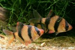 Sumatrabarben (Puntius sp. aff. tetrazona)