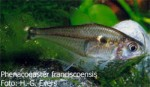 Phenacogaster franciscoensis