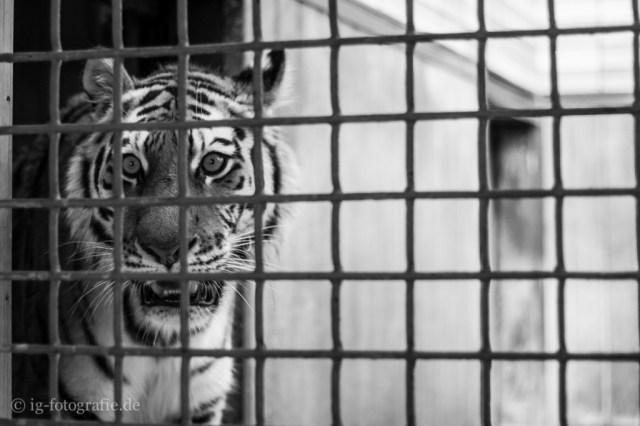 zoo: tiger behind bars
