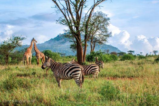Fotosafari - Kenia - Afrika: Zebras und Giraffen