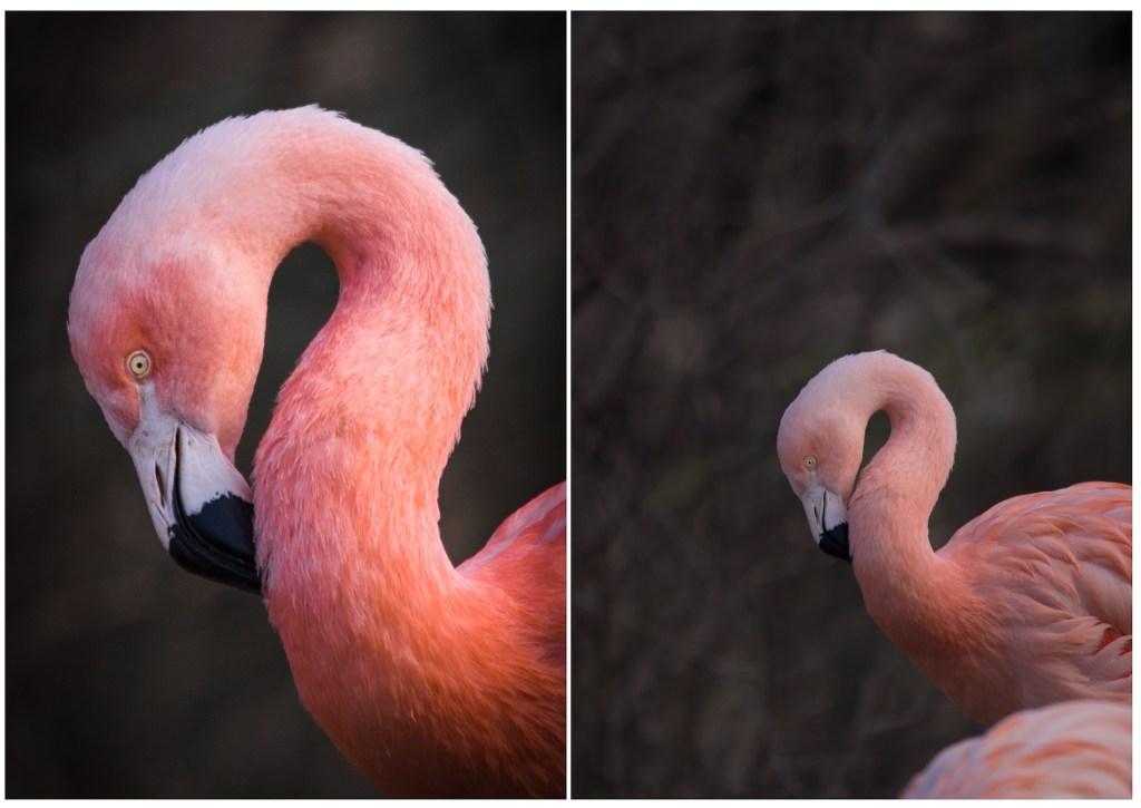 Flamingo-Nahaufnahme