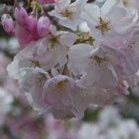 San Francisco Spring Break  - A Visit to the Japanese Tea Garden