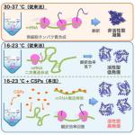 無細胞タンパク質合成における温度の影響と低温ショックタンパク質(CSP)の効果