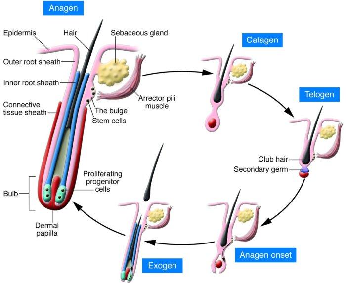 hair-growth-cycle Natural Hair 101- Hair Growth Cycle Simplified