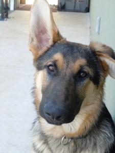 Guide Dog Puppy Rostov