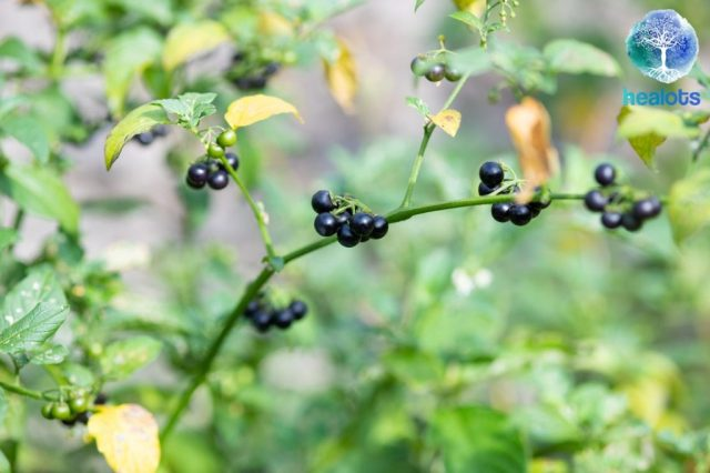 black-berry-of-black-nightshade-picture-id1006243472-7130443