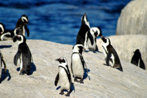 Penguins-on-the-beach-Cape-Town-South-Africa-shutterstock_775935241-300x201