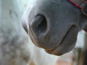 Horses Breathing in Dust